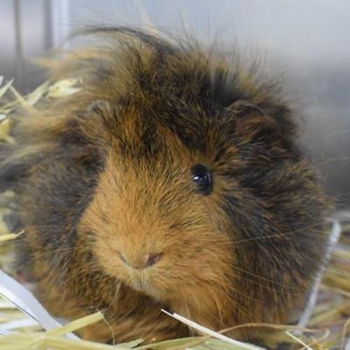 Jalapeno 898985 - Abyssinian x Peruvian Guinea Pig
