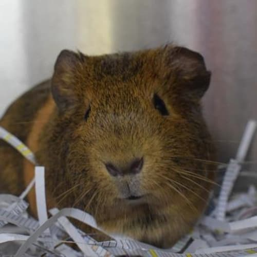 Chilli 899465  - Smooth Hair Guinea Pig