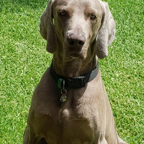 Walter - Weimaraner Dog