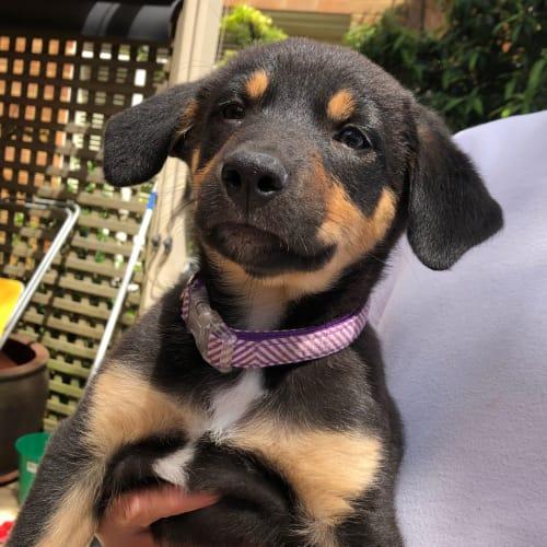 Pablo - Kelpie Dog