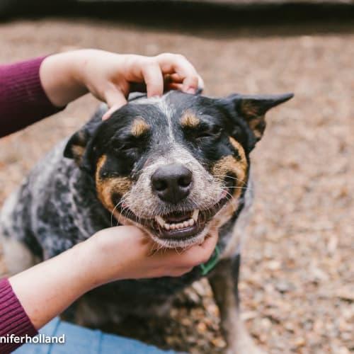 Sophie - Australian Cattle Dog