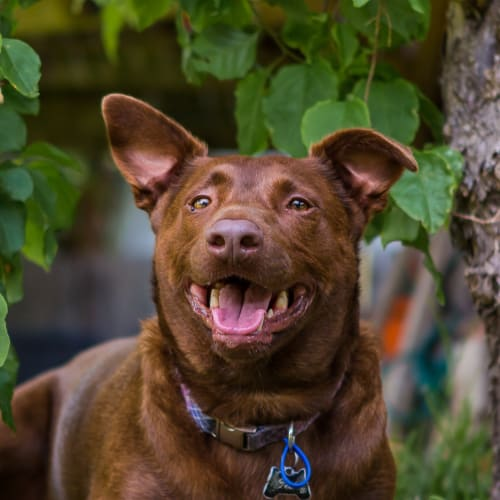 Ted ~ 4yo red kelpie - Kelpie Dog