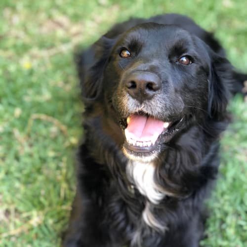 Clover - Border Collie x Flat Coated Retriever Dog