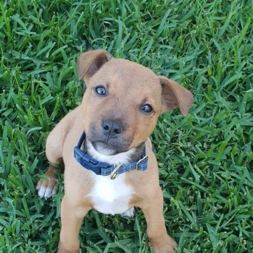 George - Staffy Dog