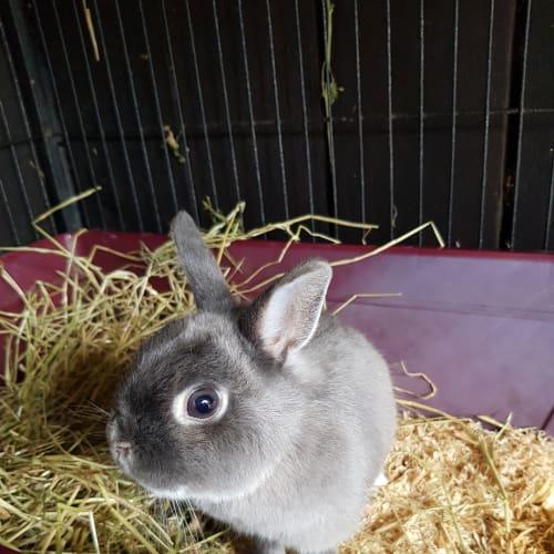 Bluebell - Netherland Dwarf Rabbit