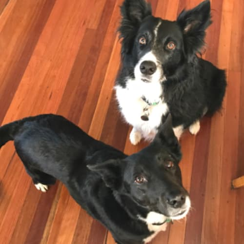 Jack and Zara  - Border Collie Dog