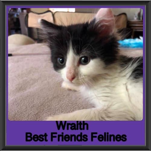 Wraith  - Domestic Medium Hair Cat