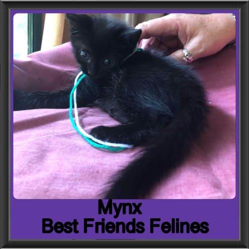 Mynx  - Domestic Medium Hair Cat