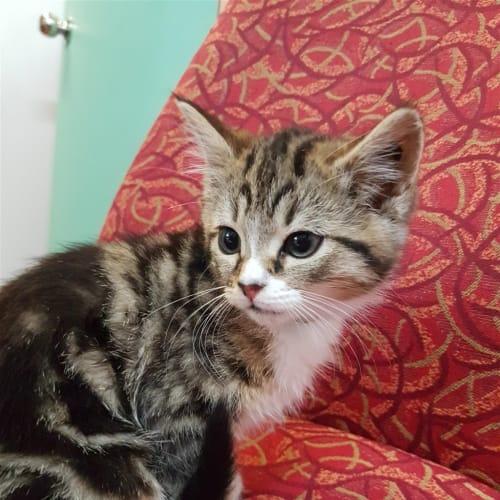 Adley - Domestic Short Hair Cat