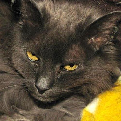 Chloe   905474 - Domestic Medium Hair Cat