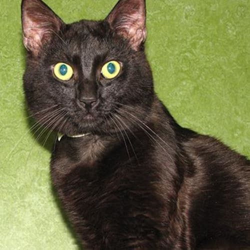 Prismo   903230 - Domestic Short Hair Cat