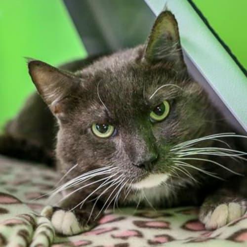 Mowgli     905868 - Domestic Short Hair Cat