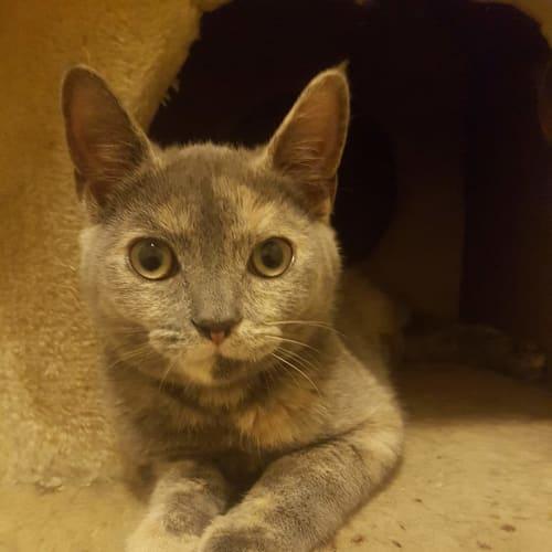 Eevee - Domestic Short Hair Cat