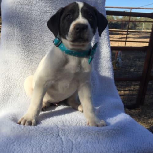 Berri - Blue Heeler x Pointer Dog