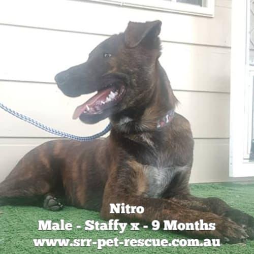 Nitro - Staffy Dog