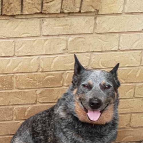 Rambo ~ 7 year old Cattle Dog - Australian Cattle Dog