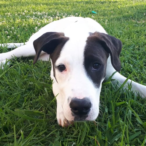 Trooper ~ 5 month old Bull Arab x - Bull Arab Dog