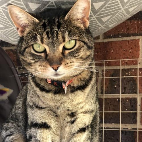 Pixie - Domestic Short Hair Cat