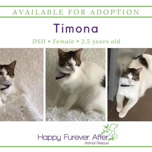Timona - Domestic Short Hair Cat
