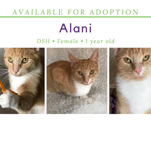 Alani - Domestic Short Hair Cat