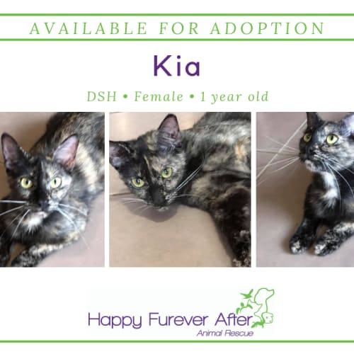 Kia - Domestic Short Hair Cat