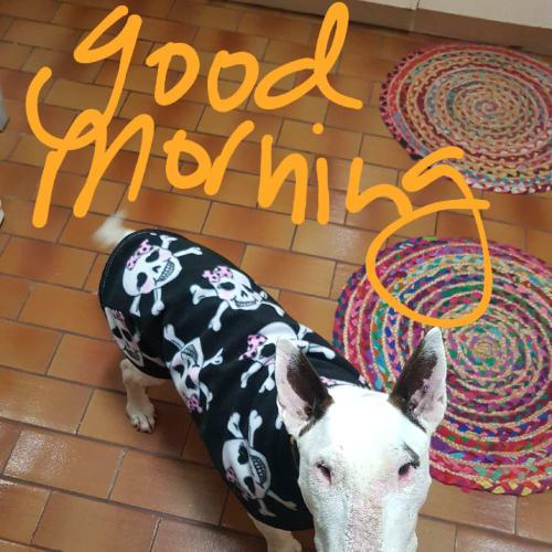 Fergie - Foster carer needed - Bull Terrier Dog