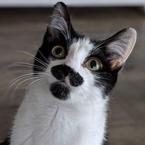 Bruno - Meet me at Cat Lounge, Neko HQ Preston  - Domestic Short Hair Cat