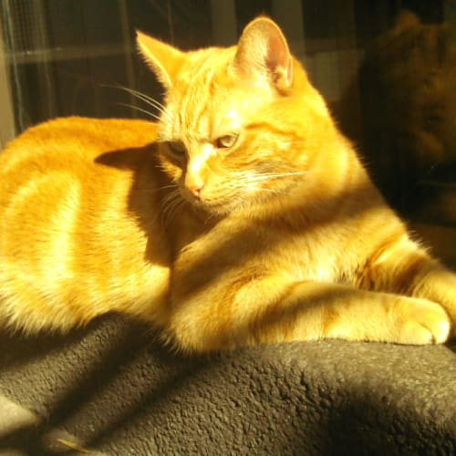 Riley (Foster Carer initially) - Domestic Short Hair Cat