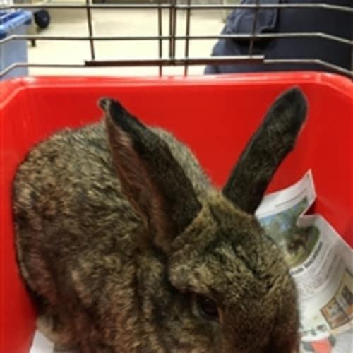 Sarah -  Rabbit
