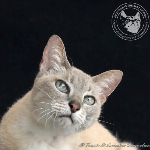 Mystique - Domestic Short Hair Cat