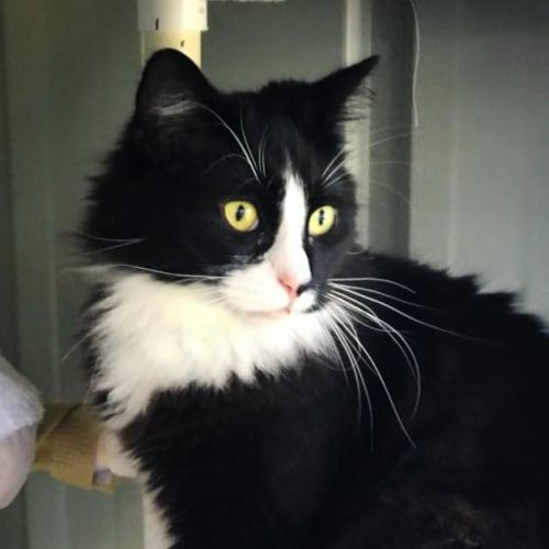 Mardi (aka M2) - Domestic Long Hair Cat