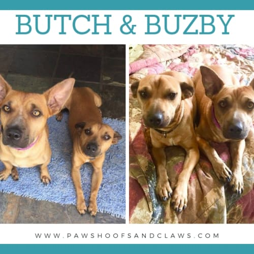 Butch and Buzby - Basenji x Terrier x Mixed Dog
