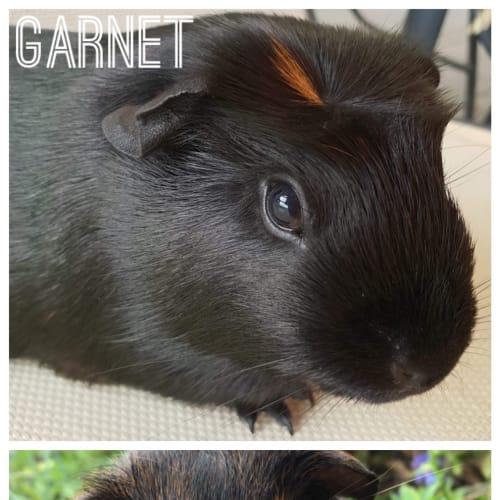 Garnet & Sailor John - Crested Guinea Pig