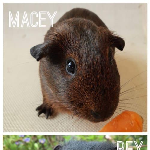 Macey & Rex  - Smooth Hair Guinea Pig