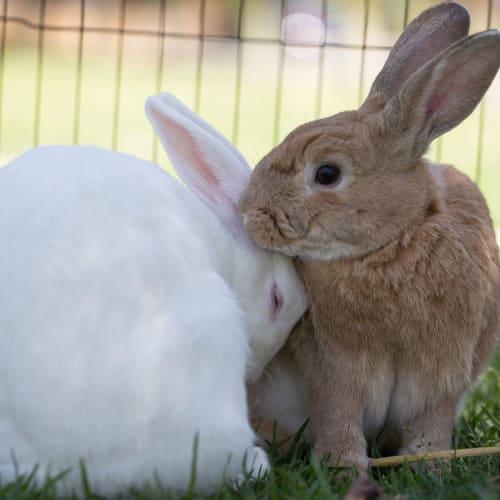 Buddy & Bonnie -  Rabbit