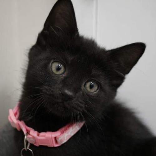 Aphrodite - Domestic Short Hair Cat