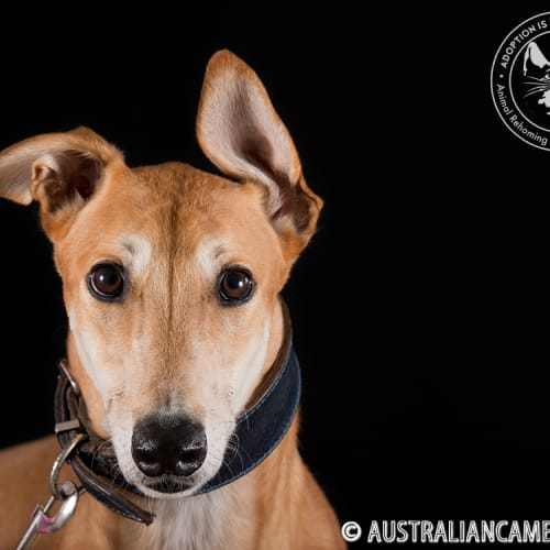 Genghis - Greyhound Dog
