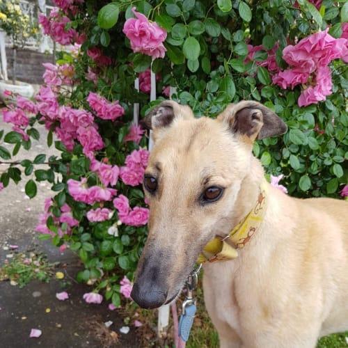 Pippa - Greyhound Dog