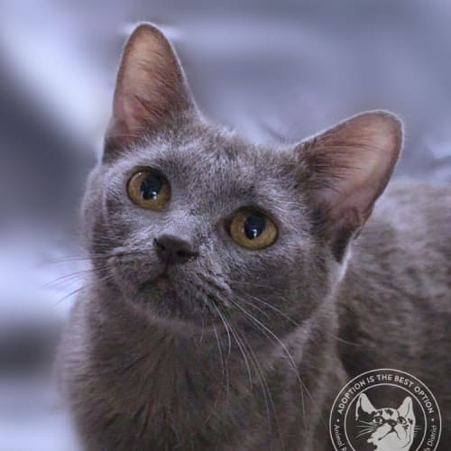 Athena - Domestic Short Hair Cat