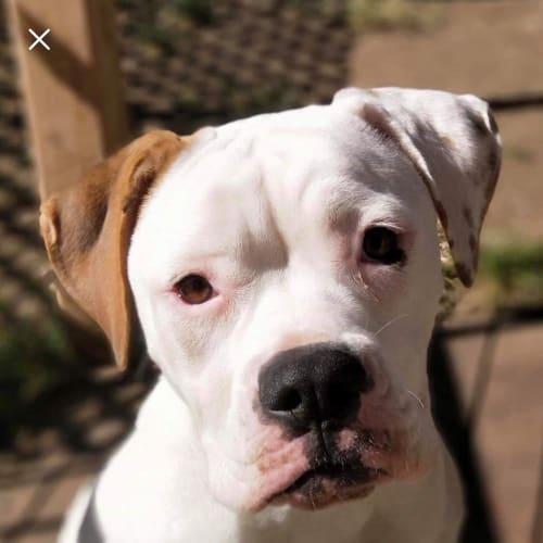 Isla - American Bulldog