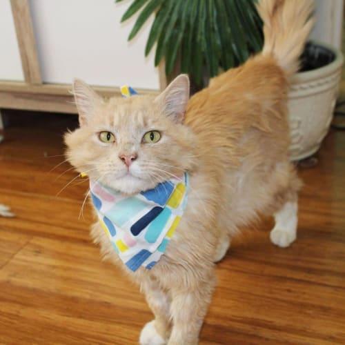 Raphael (Located in Caulfield East) - Domestic Medium Hair Cat