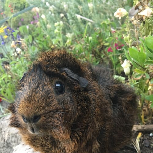Nia  - Abyssinian Guinea Pig