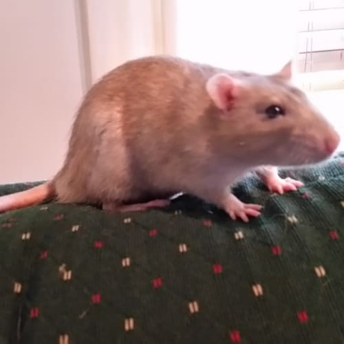 Tumbler & Remi -  Rodent