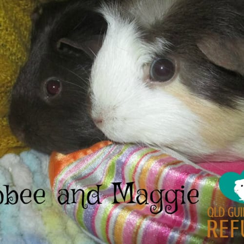 Abbee and Maggie - Smooth Hair Guinea Pig