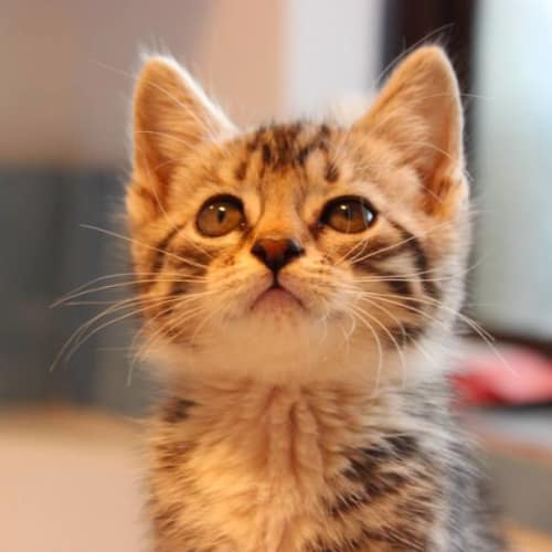 Peg NK2721 - Domestic Short Hair Cat