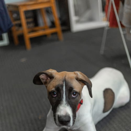 Vivian  - Australian Cattle Dog x Border Collie Dog
