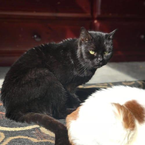 Shuri (Located in Cranbourne) - Domestic Short Hair Cat