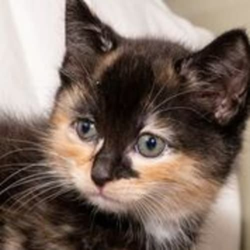 Olearia - Domestic Medium Hair Cat
