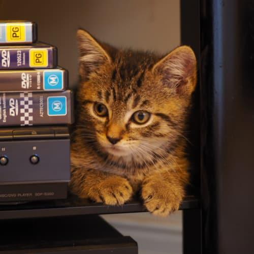 Jola - Domestic Short Hair Cat