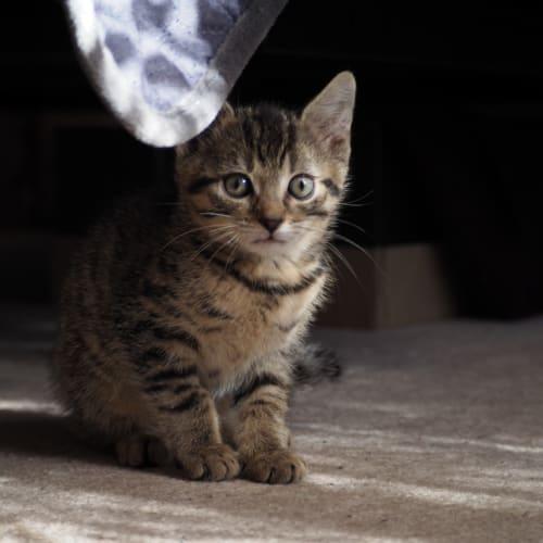 Dinka - Domestic Short Hair Cat